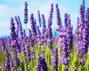 Esenciální oleje pro relaxaci i pevnější zdraví